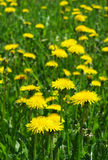 Blossoming wild flowers dandelions Stock Photos