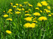 Blossoming wild flowers dandelions Royalty Free Stock Images