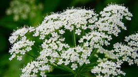 Blossoming wild-growing plant stock video footage