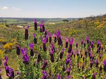 Blossoming wild lavender in the countryside from Portugal Royalty Free Stock Images
