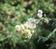 Blossoming Wild Plants. Wild plants blossoming after the first rainfall in Autumn Royalty Free Stock Images