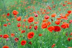 Blossoming wild  red poppies Stock Photos