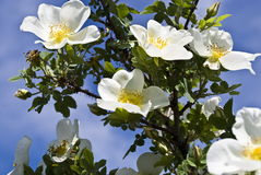 Blossoming wild rose. On blue sky Royalty Free Stock Images