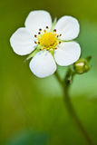 Blossoming wild strawberry Stock Photography