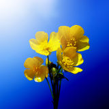 Blossoming wildflowers buttercups Stock Photo