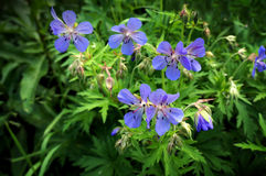 Blossoming wildflowers geranium field Royalty Free Stock Image