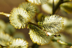 Free Blossoming Willow Stock Photography - 19372592