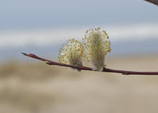 Blossoming willow against sand and water Stock Photos
