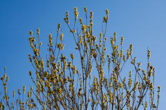 Blossoming willow Royalty Free Stock Photo
