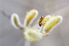 Blossoming willow, bee Stock Photos