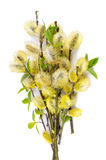 Blossoming willow Royalty Free Stock Photos