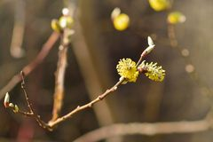 Blossoming willow Royalty Free Stock Images
