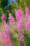 Blossoming willow-herb Royalty Free Stock Images