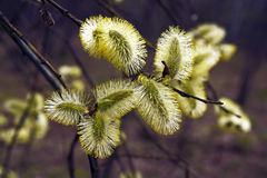 Blossoming willow in the spring forest Royalty Free Stock Images