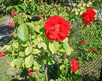 Blossoming winding red rose on the fence stock images