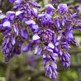 Blossoming Wisteria in spring season in garden Stock Photography