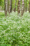 Blossoming yarrow in a birchwood, June Royalty Free Stock Image