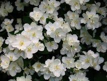 Blossoming yasmine. A yasmine bush in full springtime blossom Royalty Free Stock Photography