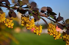 Blossoming yellow barberry. Twig of a yellow barberry blossoming in the spring. Shallow depth of field Royalty Free Stock Photography