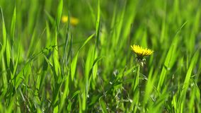 The blossoming yellow dandelion. The blossoming yellow dandelion (Taráxacum officinále) on background of a green grass in bluring a bokeh. 4K (UHD stock video footage