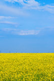 Blossoming yellow field of canola Stock Images