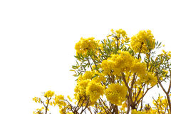 blossoming yellow flower Royalty Free Stock Image