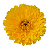 Blossoming Yellow Gerbera Flower Royalty Free Stock Images