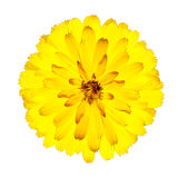 Blossoming Yellow Gerbera Flower Isolated on White. Blossoming Yellow Gerbera Flower in - Beautiful Gerbera aurantiaca Isolated on White Background. Top view Stock Photography