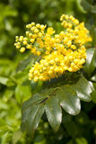 Blossoming yellow holly plant. Macro view of yellow holly plant blossoming outdoors Royalty Free Stock Image