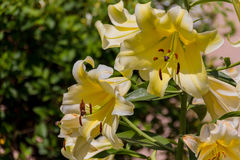 Blossoming yellow lilium flower. Lilium & x28;members of which are true lilies& x29; is a genus of herbaceous flowering plants growing from bulbs, all with Royalty Free Stock Photo
