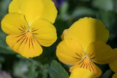 The Blossoming Yellow Pansy in the Cold Weather royalty free stock images