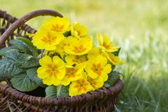 Blossoming yellow primrose in a basket Royalty Free Stock Photos