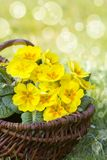 Blossoming yellow primrose in a basket Stock Images