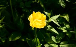 Blossoming yellow tulip. Royalty Free Stock Photos