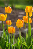 Blossoming yellow tulips. Springtime Royalty Free Stock Image