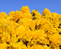 Blossoming Yellow Ulex Gorse Flower Bush with Blue sky Royalty Free Stock Photography