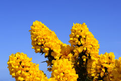 Blossoming Yellow Ulex Gorse Flower Bush with Blue sky Royalty Free Stock Photo