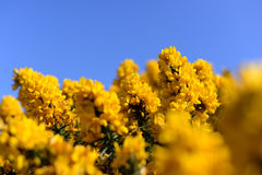 Free Blossoming Yellow Ulex Gorse Flower Bush With Blue Sky Royalty Free Stock Photo - 55608875