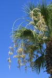 Blossoming yellowish flowers of a palm tree. Against the background of the blue sky stock photo