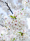 Blossoming Yoshino cherry Stock Images