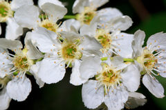 Blossoming of young bird cherry in the spring. Stock Photography