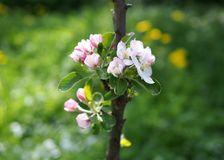Blossoming of a young  columnar apple-tree. In a spring garden royalty free stock photography