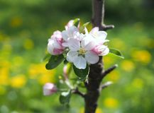 Blossoming of a young  columnar apple-tree. In a spring garden royalty free stock photo