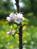Blossoming of a young  columnar apple-tree. In a spring garden royalty free stock image