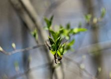 Blossoming young leaves of trees. The young shoots of the tree in spring forest in may, nature comes alive royalty free stock photography