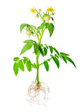 Blossoming young seedling of fresh green tomatoes fruit with exp Royalty Free Stock Photo