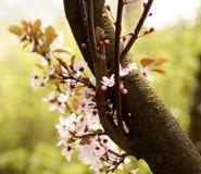Blossomming des Kirschbaums im Frühjahr Stockfotos