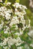 Blossomof樱桃花在有绿色的春天 免版税库存照片