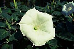 Blossomon blanco de la datura en la luz de la mañana fotos de archivo libres de regalías