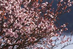 Blossoms. Spring blossoms adorn the tree branches Royalty Free Stock Photos